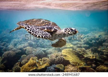 Hawksbill Turtle - Eretmochelys imbricata floats under water. Maldives Indian Ocean coral reef. - stock photo