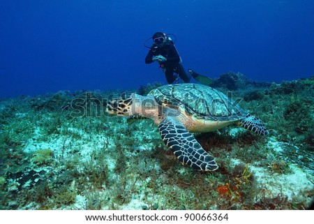 Hawksbill Turtle (Eretmochelys imbriocota) and Scuba Diver - Cozumel Mexico - stock photo