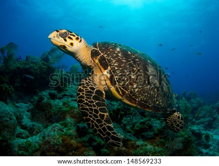 Hawksbill Turtle in the Bahamas - stock photo