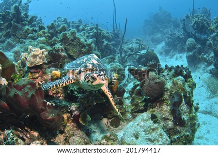 Hawksbill Turtle in the Reef, Grand Cayman - stock photo