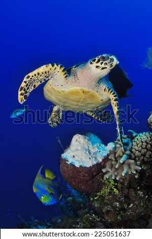 Hawksbill Turtle munches on a Barrel Sponge under the midday sun, Grand Cayman - stock photo
