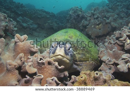 hawksbill turtle on reef coral - stock photo