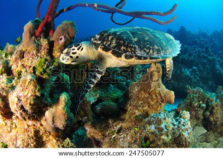 Hawksbill Turtle on the reef, Grand Cayman - stock photo