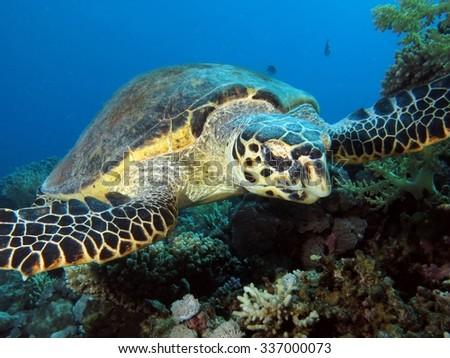 Hawksbill turtle portrait - stock photo