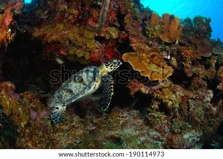 Hawksbill Turtle Resting in the Coral Reef - stock photo
