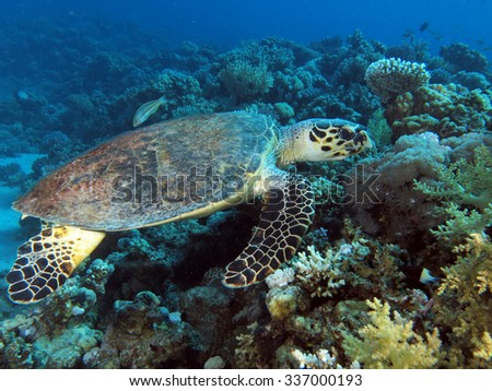 Hawksbill turtle swimming over a coral reef - stock photo