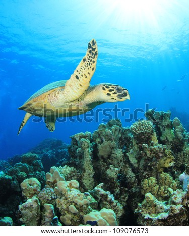 Hawsbill Turtle on coral reef in the Red Sea - stock photo