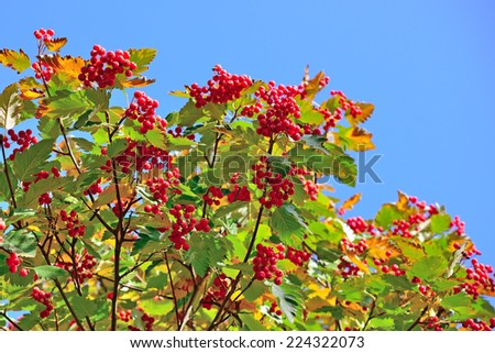 Hawthorn berries on blue sky background - stock photo