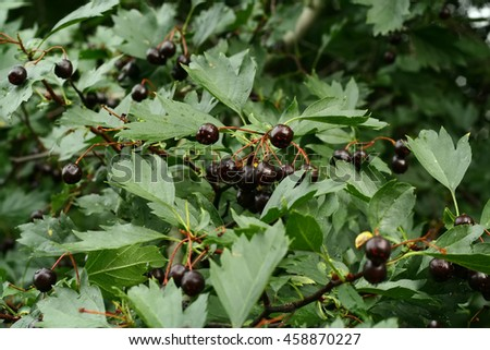 Hawthorn tree berries on branch with green leaves, green background - stock photo