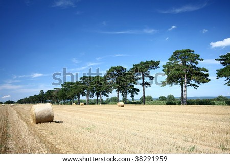 Hay bales and Douglas pine - stock photo