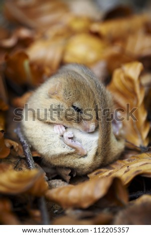 Hazel Dormouse curled up in leaves - stock photo