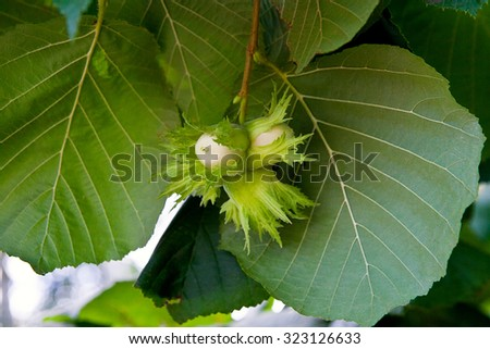 Hazelnut with green leaves on a hazel grove branch. - stock photo