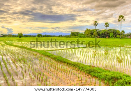 HDR view of rice field landscape - stock photo