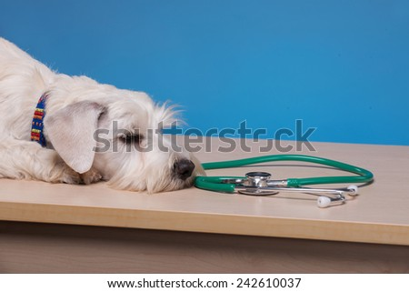 He is unwell. Portrait of a cute little dog lying on the table with stethoscope around his neck against blue background - stock photo