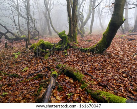 he misty autumn forest with beech trees growing on the slope. - stock photo