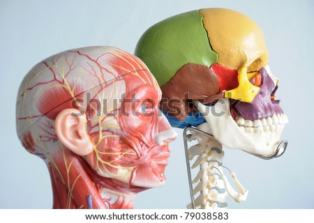 head anatomy model - stock photo