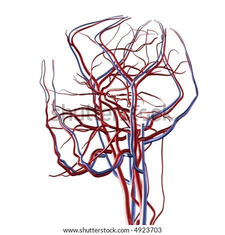 Head and Brain Arteries and Veins - stock photo
