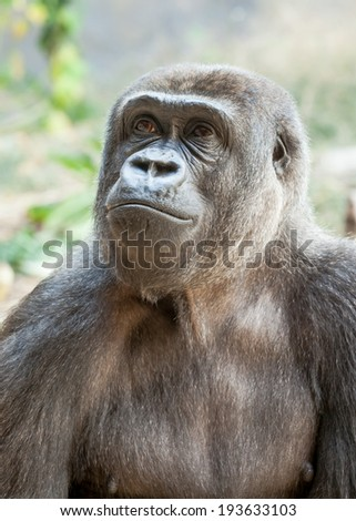 Head and chest of a female Western Lowland Gorilla (Gorilla gorilla gorilla) looking up and to the left in a pensive and wistful way - stock photo