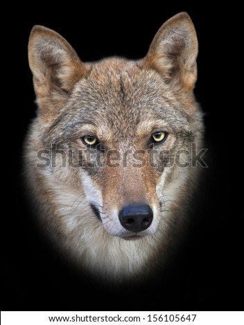 Head and neck of a young, two year old, european wolf female, isolated on black background. Face portrait of a forest dangerous beast, Canis lupus lupus, on blur background. Beauty of the wildlife. - stock photo