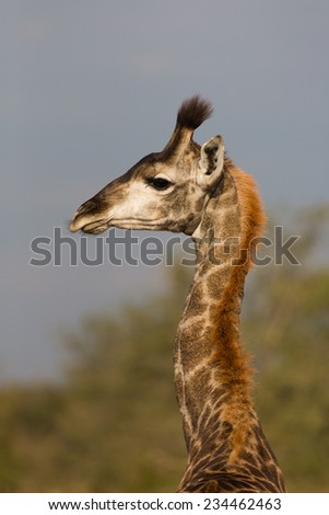 Head and neck profile of one giraffe, Giraffa camelopardalis, in the Kruger National Park, South Africa. - stock photo