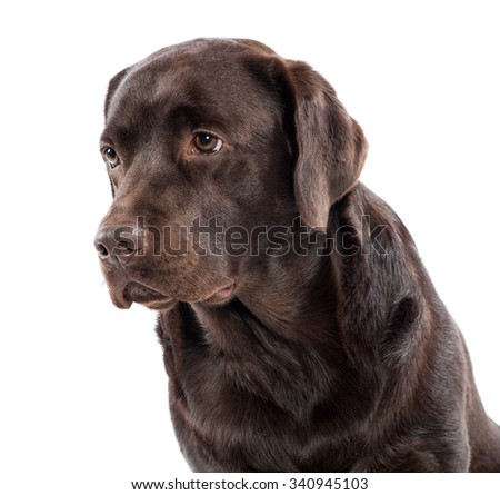 Head and shoulders portrait of a gentle lovable chocolate labrador retriever looking off to the left side of the frame , isolated on white - stock photo
