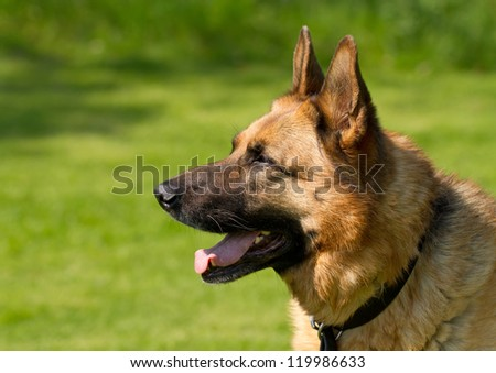 Head and shoulders shot of German Shepherd or Alsatian dog - stock photo