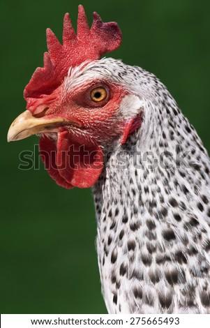 Head chicken - speckled hen on green background - stock photo