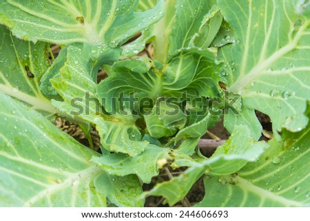 head little cabbage - stock photo