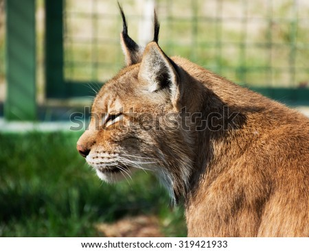 head lynx close-up - stock photo