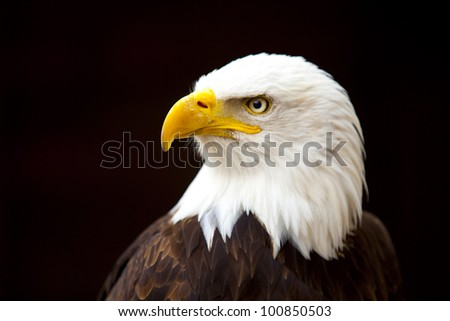 Head of a bald eagle - stock photo