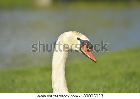 Head of a beautiful white swan with its black and orange beak by sunset  - stock photo