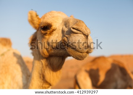 Head of a camel in dessert on a background of blue sky - stock photo