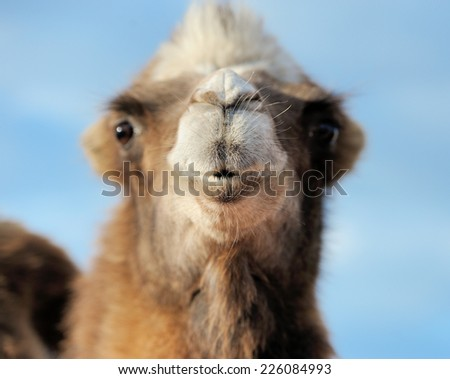 Head of a camel on a background of blue sky. Focusing on the nose - stock photo