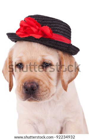 head of a cute labrador retriever puppy wearing a hat on white background - stock photo