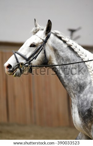 Head of a dressage horse in action. Braided mane for dressage. Braiding provides an aesthetically appealing look for a jumping horse - stock photo