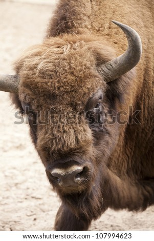 head of a European bison - stock photo