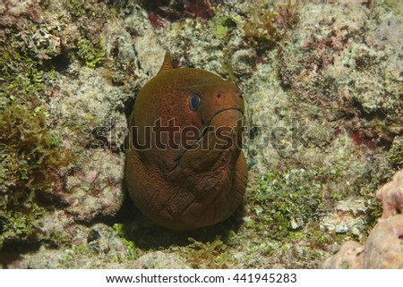 Head of a giant moray eel, Gymnothorax javanicus, underwater in the Pacific ocean, Huahine island, French Polynesia - stock photo