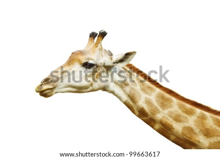 head of a giraffe isolated on white - stock photo