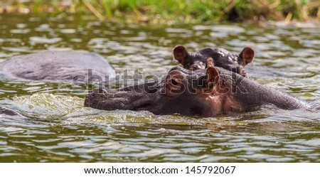 Head of a hippopotamus looks out of the water - stock photo