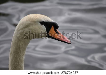 Head of a mute swan - Cygnus olor - looking to the right - stock photo