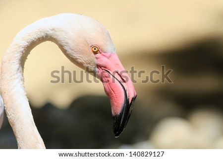 Head of a pink flamingo close up - stock photo
