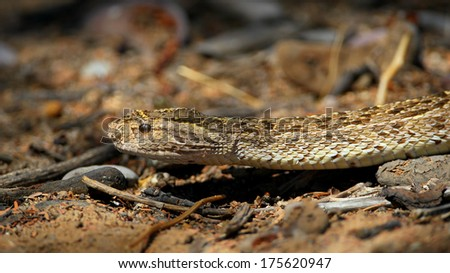 Head of a puff adder on the ground, Kalahari, South Africa - stock photo