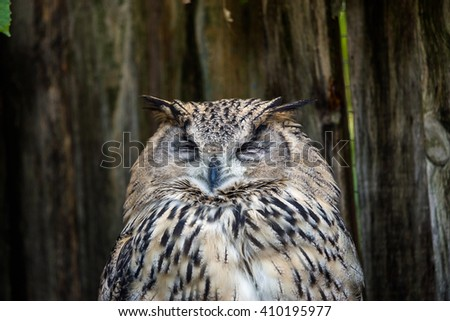 Head of a spotted eagle-owl (Bubo africanus) sleeping on a perch in Wold of birds zoo, Cape Town. - stock photo