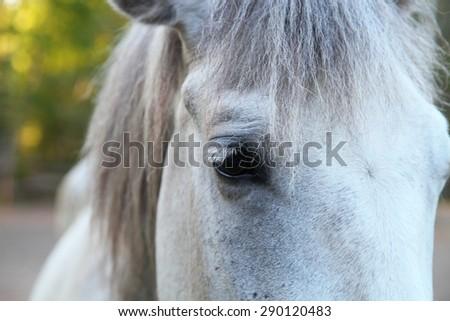 Head of a white horse closeup - stock photo