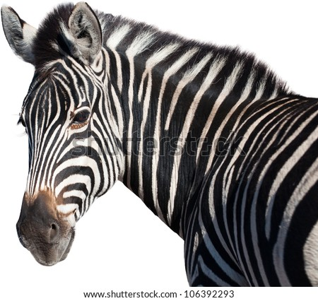 Head of a zebra isolated from the background - stock photo