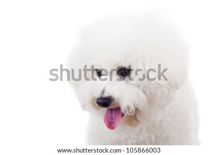 head of an adorable bichon frise puppy dog looking at something at its right side on white background - stock photo
