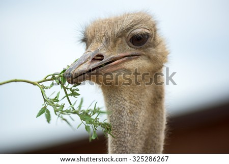 Head of an ostrich on the nature - stock photo