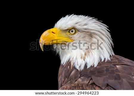 Head of bald or sea eagle on black - stock photo