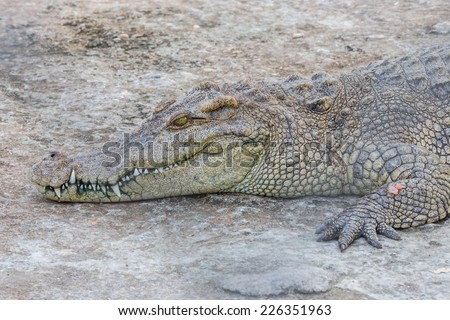 Head of crocodile, alligator - stock photo