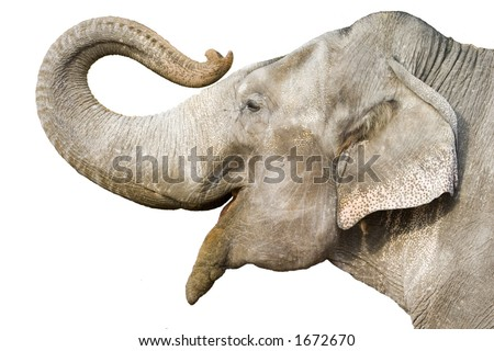 head of elephant on white background - stock photo